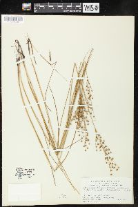 Image of Juncus x gracilescens