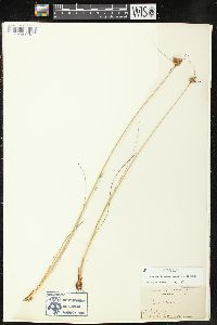 Image of Juncus greenei