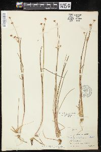 Image of Juncus oreganus