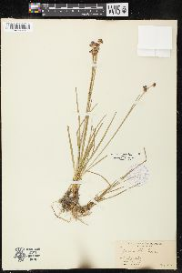 Image of Juncus obtusatus