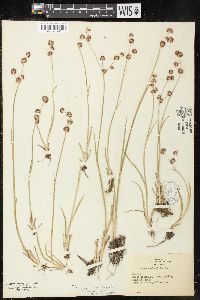Image of Juncus oxymeris