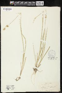 Image of Juncus parous