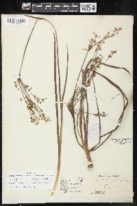 Image of Juncus polycephalus
