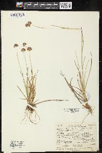 Image of Juncus regelii