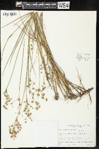 Image of Juncus x stuckeyi