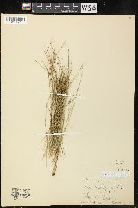 Image of Juncus trifidus