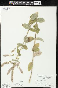 Image of Mentha alopecuroides