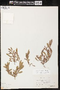 Polygonum aviculare subsp. buxiforme image