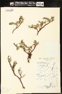 Image of Salix chamissonis