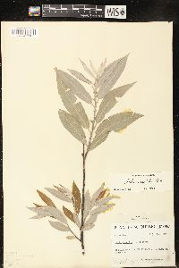 Image of Salix coactilis