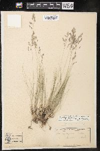 Image of Poa filifolia