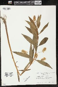 Image of Lysimachia x commixta