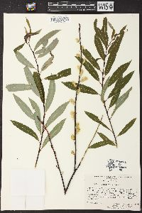Image of Salix gracilis