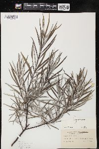 Image of Salix incana