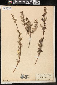 Image of Salix repens