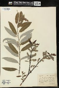 Image of Salix x subsericea