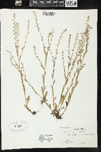 Image of Myosotis virginiana