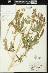 Image of Lupinus campestris